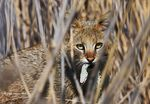 Title: Felis Chaus / Jungle Cat