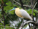 Title: Capped Heron