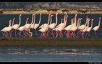 Title: Flamingo Mating Dance