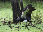 Title: Horned Screamer