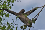 Title: Brown-throated Three-toed Sloth