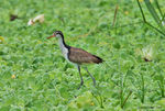 Title: Wattled Jacana- for Annick