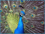 Title: Peacock 2