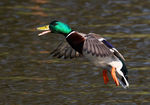 Title: Flying Mallard