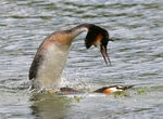 Title: Grebes mating