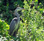 Title: Heron on bank of Swindon CanalKonica Minolta DiMage A200