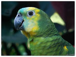 Title: Blue-Fronted Amazon ParrotMinolta Dimage Z5