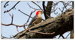 Title: Red Bellied WoodPecker