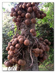 Title: Cannon Ball Tree