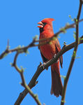 Title: Singing Cardinal