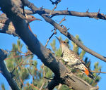 Title: Red-shafted Northern Flickers