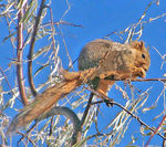 Title: Red Fox Squirrel