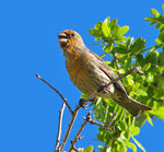 Title: Orange Variation of Male House Finch