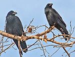 Title: American Crows