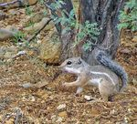 Title: Harris' Antelope Ground Squirrel