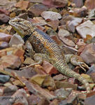 Title: Desert Spiny Lizard - For Bayram