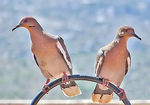Title: White Winged Doves