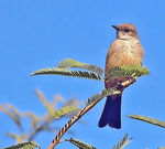 Title: Say's Phoebe