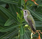 Title: Costa's Hummingbird