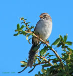 Title: Rufous-Winged Sparrow