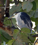 Title: Black-crowned Night Heron