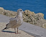 Title: Ring-billed Gull - First Year