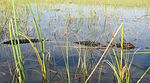Title: Alligator Swimming in the Everglades