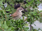 Title: Young Black-throated Sparrow