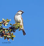 Title: Sparrow on the Treetop