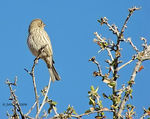 Title: Lady House Finch
