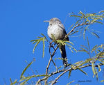 Title: Curve-billed Thrasher