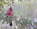 Title: For Ivan - Pyrrhuloxia - No Feeder
