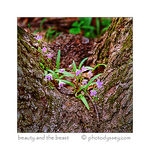 Title: spring beauty ( claytonia virginica )