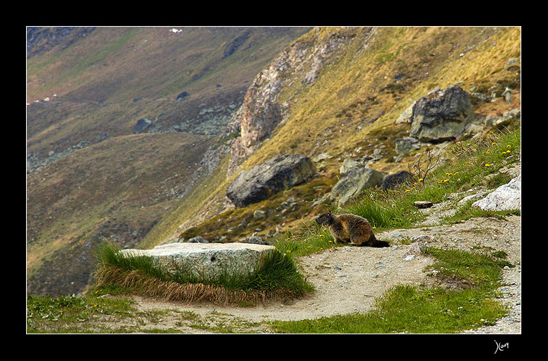 Marmot at Moiry