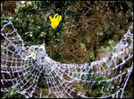 Title: gossamer and gorse