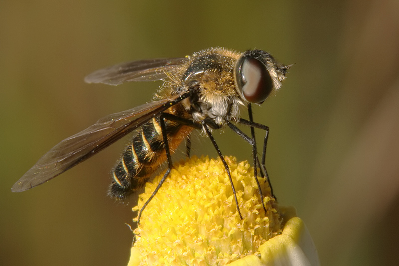 unknown Diptera