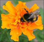 Title: BumbleBee on the Marigold