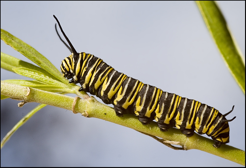 The Monarchs are Back
