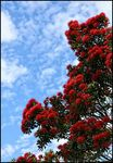 Title: Pohutukawa - NZ Christmas Tree