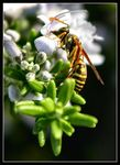 Title: Wasps in New Zealand