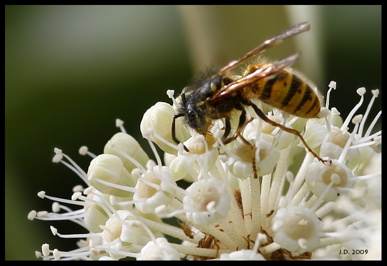 Wasp on my Fatsia Japonica