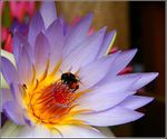 Title: Bumble Bee and Fly on the Waterlily