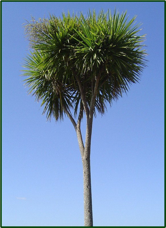Cabbage Tree!