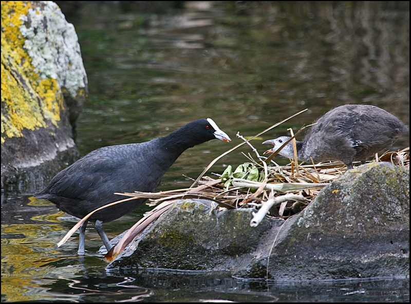 Mother and Child Coot