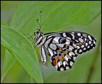 Title: Lime or Chequered Swallowtail