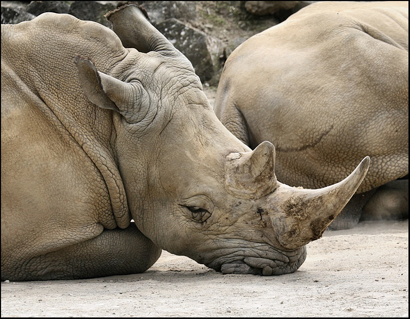 Rhino at Rest on his Chin