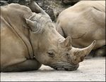 Title: Rhino at Rest on his Chin