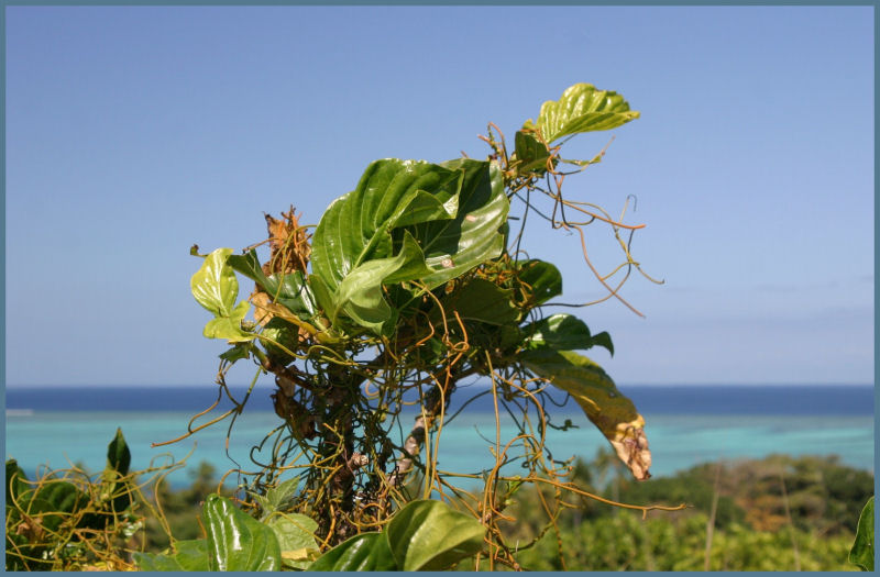 NONI - Plant with a View