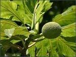Title: BREADFRUIT of FIJI