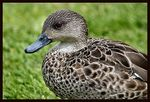 Title: Grey Teal Duck